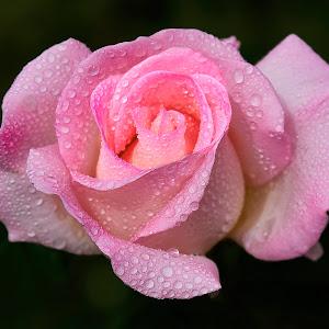0 Rose 9670~ 1.jpg