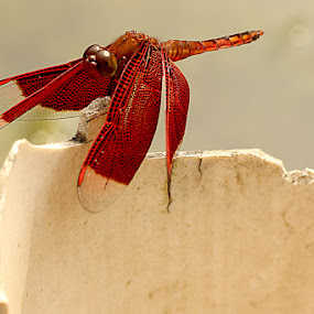 Red evil by Nadia Puteri Meutia - Animals Insects & Spiders ( pwcinsectsandspiders )