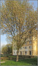 Photo: Artar - Paltin de munte (Acer pseudoplatanus)  - de pe Alee Calea Victoriei - 2018.04.11