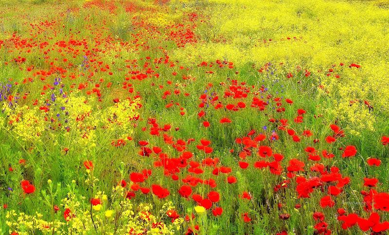 Campi in fiore di Luciano Fontebasso
