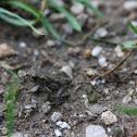 European Toad(juvenile)