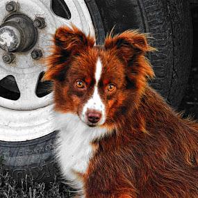 Guardian by Amber Reeder Crowl - Animals - Dogs Portraits ( farm, family, australian shepherd, dog, guard dog, country, aussie,  )