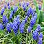 Periwinkle by Beth Bowman - Flowers Flower Gardens (  )