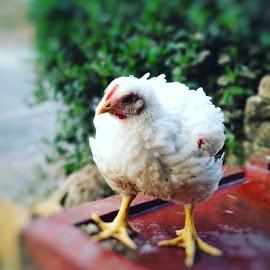 🐔 by Abhisek Datta - Animals Other ( baby chick, hen )