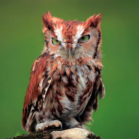 Screech Owl  by William Rainey  - Animals Birds ( falocons, audubon, wildlife, birds, arkansas,  )