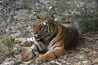 Photo: I love this photograph of a tiger in all its beauty taken by Philip Davis of Tiger Awareness