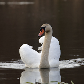 Swan by Per Holt Oksen-Larsen - Novices Only Wildlife ( water, beautiful, swan, lake, swimming )