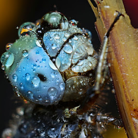 IM BLUE by Dhanu Wijaya - Animals Insects & Spiders