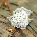 Cerioporus Mollis Mushroom