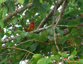Photo: Molting Summer Tanager, gorging on mulberries, High Island, Texas