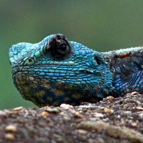 Koggie by Nico Ebersohn - Animals Reptiles ( eye, blue, scales, lizard, wall,  )