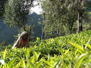 Photo: 7B220952 na plantacji herbaty