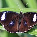 Great Eggfly Butterfly (Male)