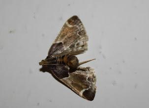 Photo: Pyralis farinalis  Lepidoptera > Pyralidae