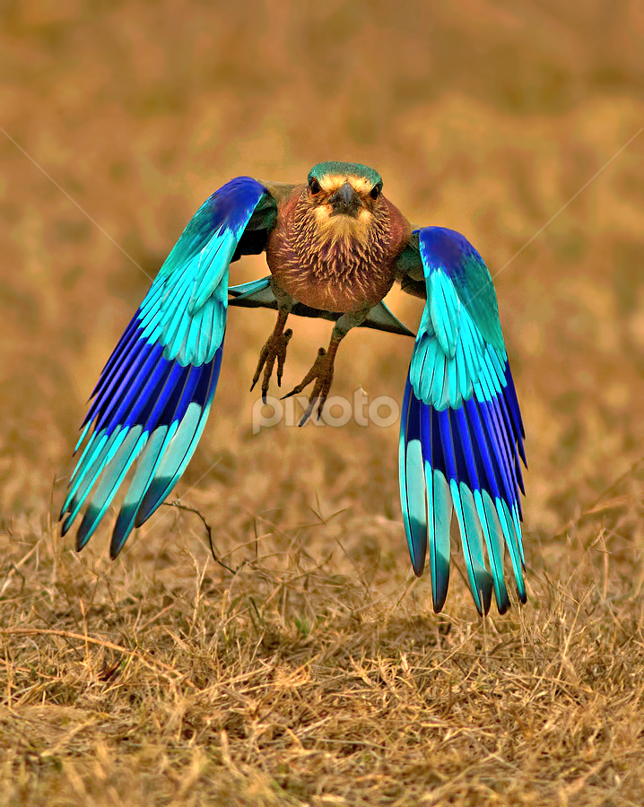 INDIAN ROLLER by Subramanniyan Mani - Animals Birds ( flight, nature, action, wildlife, birds, indian roller )