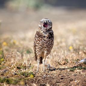 burrowing owl  by Alex Sam - Animals Birds ( bird, burrowing owl )
