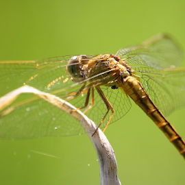 Crocothemis servilia by Deny Afrian Wahyudi - Animals Insects & Spiders ( ecology, biodiversity, species, canon, wildlife )