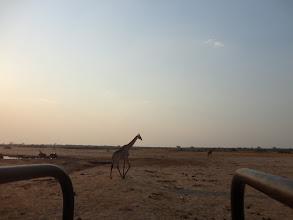 Photo: Giraffe walking right next to us