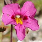 Bigelow's Monkeyflower