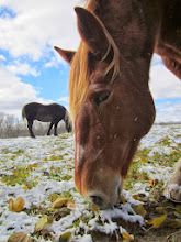 Photo: Horses grazing on grass under snow at Carriage Hill Metropark in Dayton, Ohio.