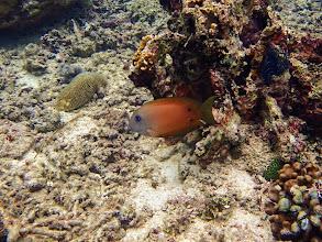Photo: Ctenochaetus binotatus (Two-spot Bristletooth), Miniloc Island Resort reef, Palawan, Philippines.