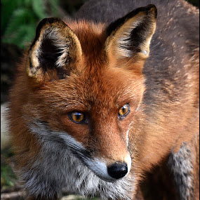 ADULT FOX by Ita Martin - Animals Other Mammals ( adult fox,  )