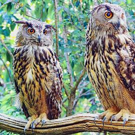 Owls Couple by Luigi Girola - Animals Birds ( look, wood, pair, green, plumage, yellow, claws, birds, owls, eyes, bird, royal, beak, owl, trees, branch, brown, couple, attention, serious,  )