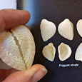 Red Sea Shells