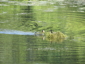 Photo: 8 Jul 13 Priorslee Lake: A Coot still nest-building while one of its earlier brood sits-in! This will likely be a casualty of the weed clearance this week. (Ed Wilson)