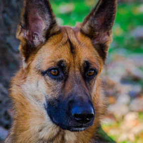 Huh? by Penny Miller - Animals - Dogs Portraits ( gorgeous, beautiful, akc, german sheperd, cute, dog, pretty, portrait,  )