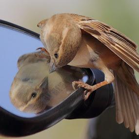 reflaction  HOUSE SPARROW by Dr. Mahendra singh Rathore - Animals Birds