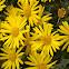 Golden Aster Villosa Flowers