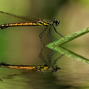 reflection by Bobby Worotikan - Animals Insects & Spiders ( damselfly animal macro insect )