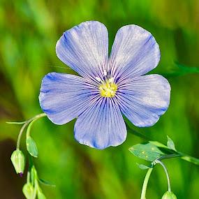 Spring Blue.... by Doug Wean - Flowers Single Flower ( flowers, blue, nature, flower closeup, nature up close, flower up close, buds, petals, flower )
