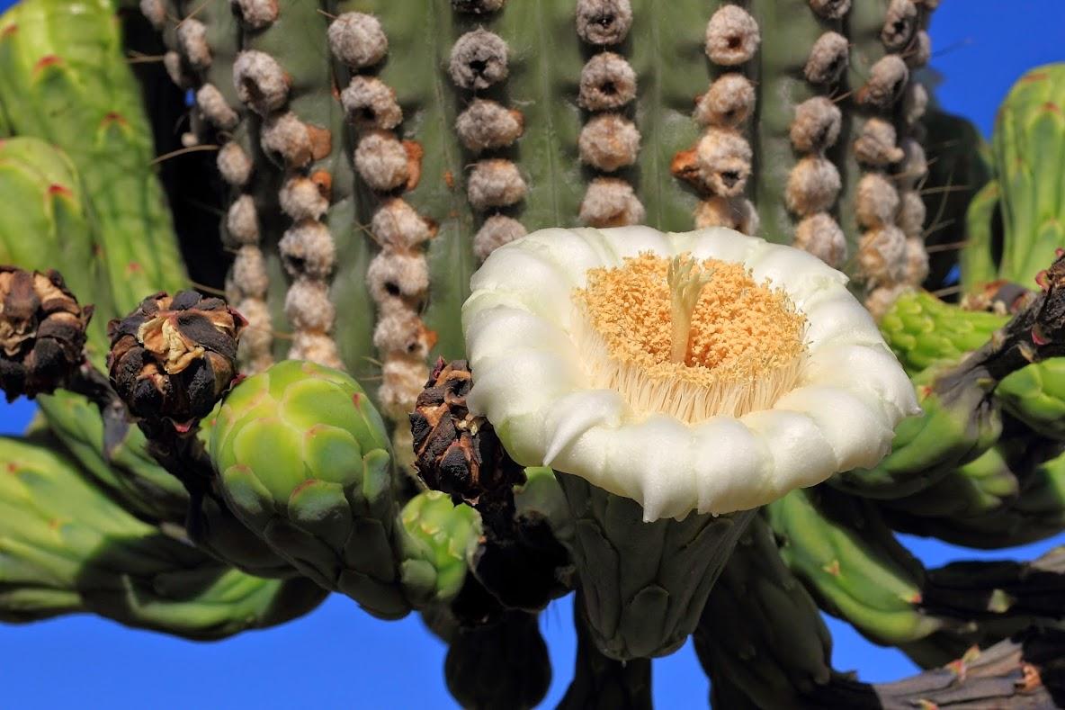 Цветы кактуса сагуаро