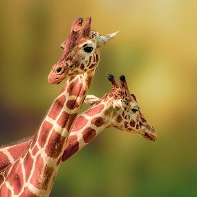 Giraffe by George Bloise - Animals Other Mammals ( jungle, giraffe, texture, art, africa, animal )