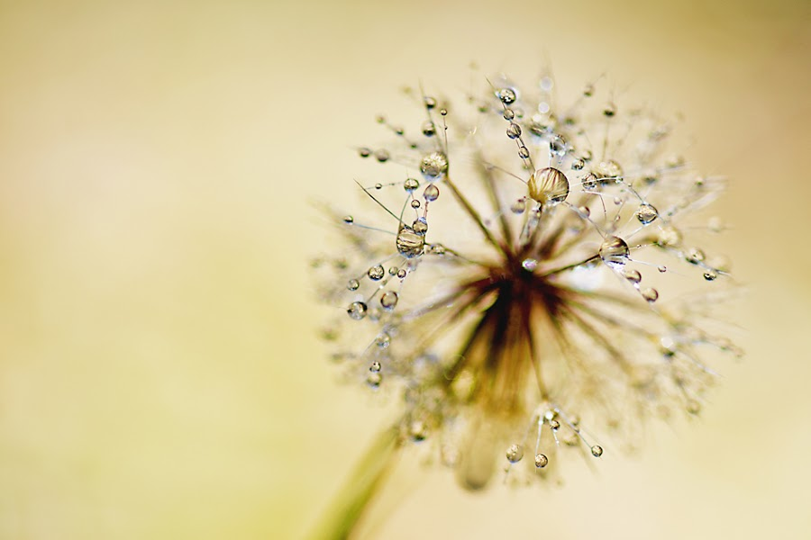 Droplets by Mark Aichholzer - Nature Up Close Flowers - 2011-2013 ( water, dandelion, flower, droplets )