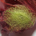 Spiny-backed Orb Weaver (egg sac)
