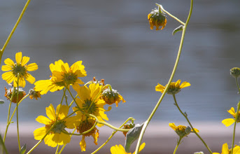 Photo: Rio Salado Wildflowers, Backlit - Shot with a 400mm prime lens, Canon 7D handheld, one fine Spring day at the Rio Salado Nature Preserve in central Phoenix, Arizona.