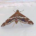 Beet Webworm Moth