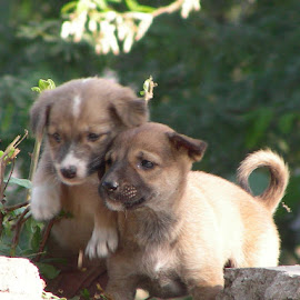Playing puppies by Kirti Umrigar - Animals - Dogs Puppies ( nature, dogs playing,  )