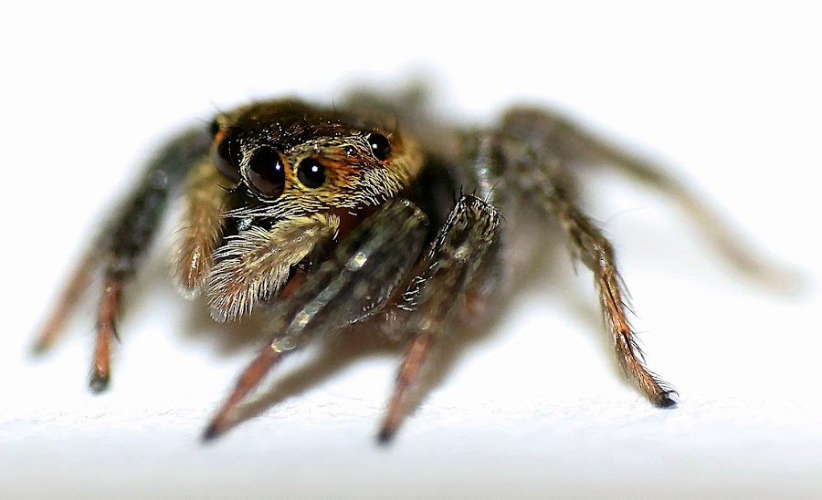 Spider by Dyah Noorhayati - Animals Insects & Spiders