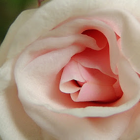 Tiny pink rose at my garden by  Priyanka Das - Nature Up Close Flowers - 2011-2013 (  )