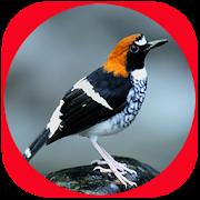 Yenisu: Suara Burung Anis Lomba Juara