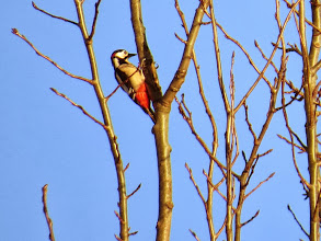 Photo: Priorslee Lake A male Great Spotted Woodpecker shows his red trousers. I am sure they are brighter / more extensive in Spring though this doesn't seem to be mentioned in bird guides. (Ed Wilson)