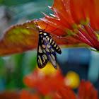 Hübners wasp moth