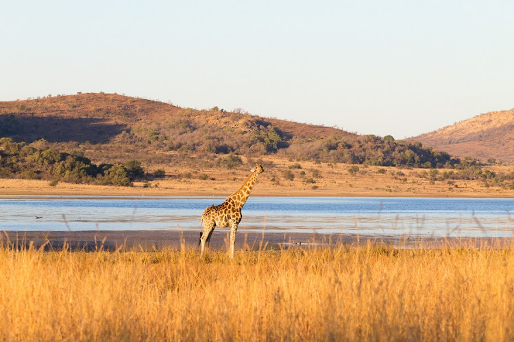 Giraffe at Pilanesberg National Park, South Africa. Picture: 123RF/Davide Guidolin
