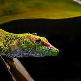 Geko by Gérard CHATENET - Animals Reptiles