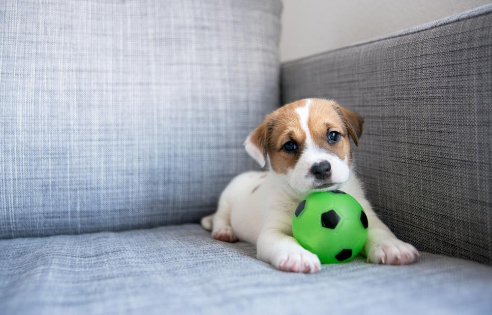 puppy plays with a green ball on a couch