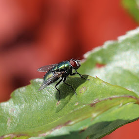 A fly resting on a leaf by Michelle Ng - Animals Insects & Spiders ( close up, fly, resting, nature, insect, ugly fly )